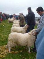 Judging Welsh Mountain Rams