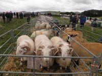 Defaid Mynydd Cymreig - Welsh Mountain Rams and Mule Ewe Lambs