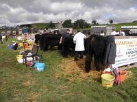 Gwartheg Duon Welsh Black Cattle