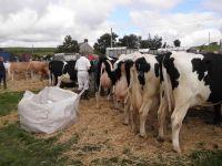 Gwartheg Godro - Dairy Cattle