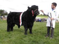 Pencampwr y Gwartheg - Interbreed Cattle Champion