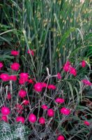Lychnis coronaria and Miscanthus