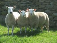 Lleyn Sheep at Cernioge Bach Farm Snowdonia