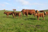 Stabiliser Cattle Cernioge Bach Farm Snowdonia