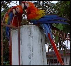 Parots in Coari Brazil