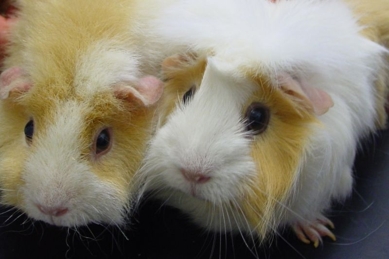 Guinea pigs don't make ideal cage-mates for rabbits